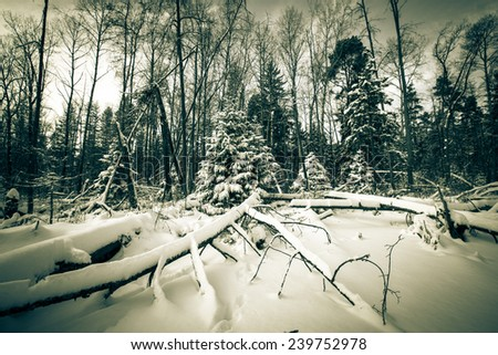 winter forest covered with snow. tinted - stock photo