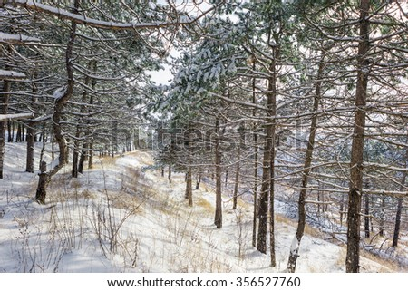 Winter forest. Firewood stacked in a pile under spruce. Snowfall. Frosty. Christmas day. Copy space. Winter background.