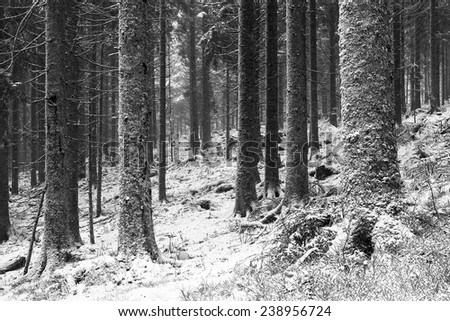 Winter Forest. German Black Forest, Black and White Picture. Heavy Snow