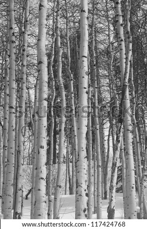 Winter forest in Vail, Colorado