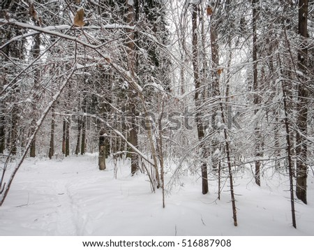 Winter forest landscape. Snow-covered trees and branches. Beautiful snowy forest in Russia