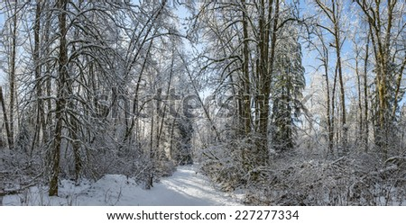 winter forest pan / beautiful delicate trees / all dressed up in white