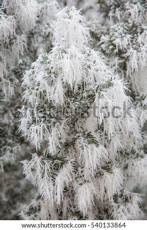 Winter forest scene with frost and ice on a mistic white day