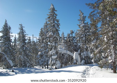 Winter forest, spruce trees covered in snow and the trail in the snow