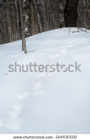 Winter Forest. traces of animals.  Russia Siberia Krasnoyarsk  - stock photo