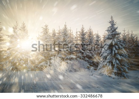 Winter forest. Winter background. The sun breaks through the pine, spruce. Snowfall. Copy space. - stock photo