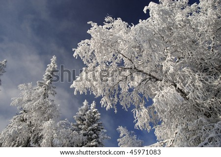 Winter forest with fir and birch branches with snow over sky at Urals, Russia - stock photo