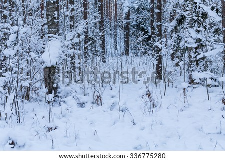 Winter forest with road covered with snow - during sunset background. Winter landscape with trees