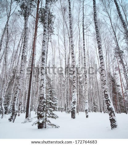 Winter forest with trees