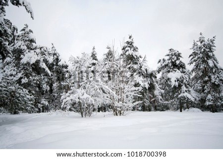 Winter forest with trees covered with snow caps right after the snowfall.