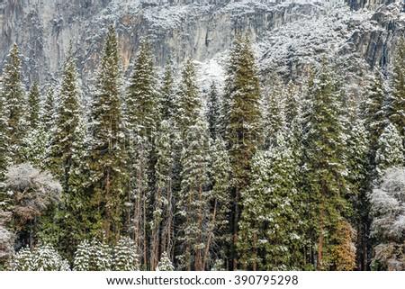 Winter forest, Yosemite National Park  - stock photo