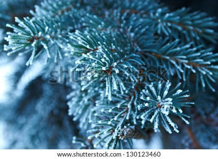 Winter frost on spruce  christmas tree  close-up .Shallow depth-of-field. - stock photo