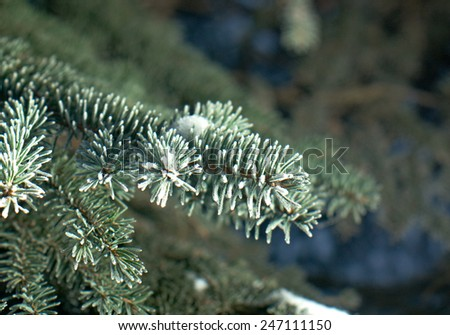 Winter frost on spruce tree  close-up .Shallow depth-of-field.