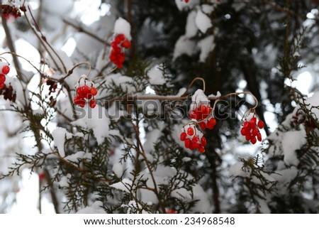 Winter frozen viburnum berries on blurry tree background - stock photo