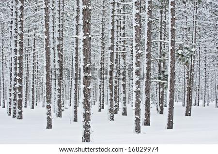 Winter, Hiawatha National Forest after a fresh snowfall, Michigan's Upper Peninsula, USA - stock photo