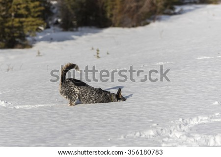 Winter Hiking and playing in the snow with a Blue Heeler Dog Alberta Canada