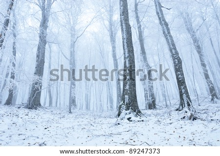 Winter hoarfrost misty forest