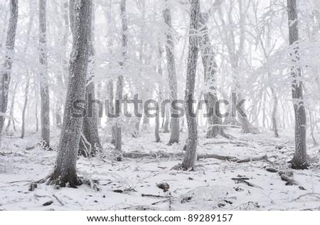 Winter hoarfrost misty forest - stock photo