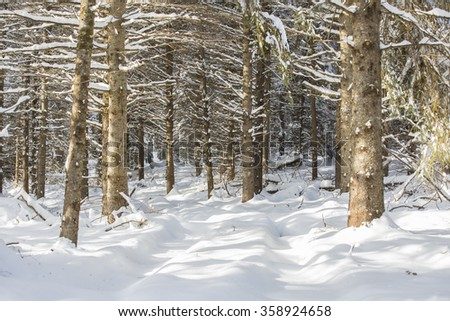 Winter in an evergreen plantation