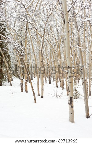Winter in aspen (Populus tremuloides) stand in boreal forest of Yukon Territory, Canada.