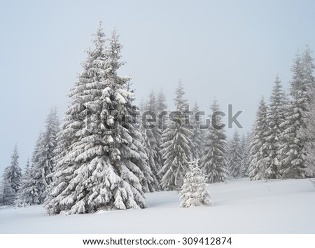 Winter in the mountain. Fir forest under snow. Cloudy day. Carpathians, Ukraine, Europe. Christmas view - stock photo