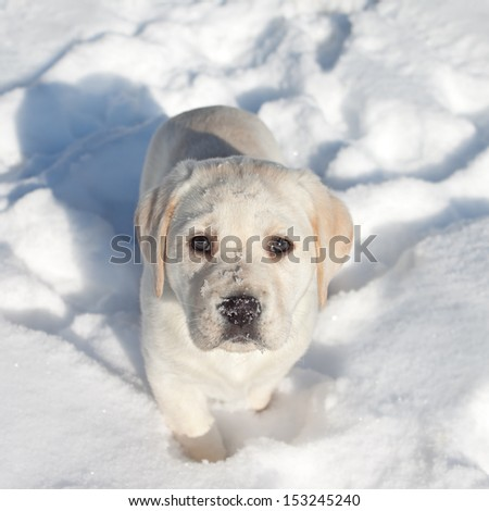 Winter Labrador retriever puppy dog in snow - stock photo
