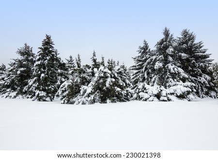 Winter landscape after the snowstorm. Fir trees covered by snow.