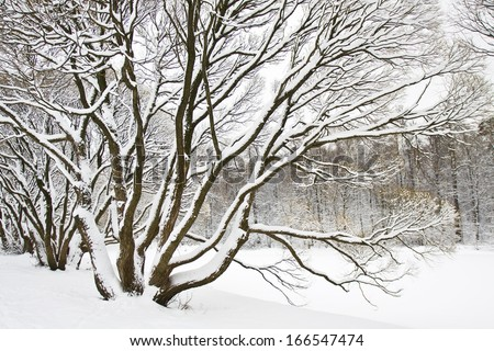 Winter landscape - big trees closely with branches in snow. - stock photo