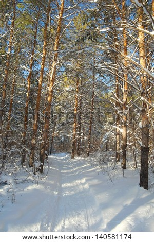 Winter landscape in forest with pines after snowfall