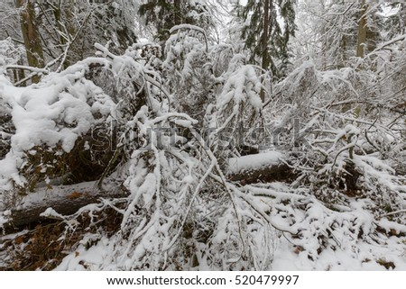 Winter landscape of natural forest with dead spruce tree  lying, Bialowieza Forest, Poland, Europe
