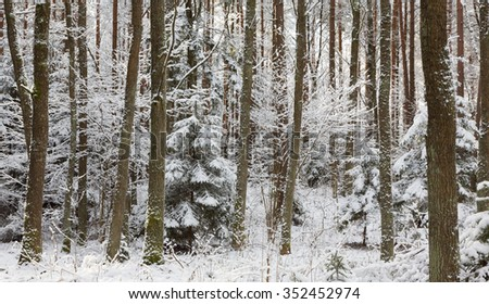 Winter landscape of natural forest with dead spruce tree trunks lying,Bialowieza forest,Poland,Europe - stock photo