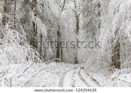 Winter landscape of natural forest with oak trees snow wrapped just snowfall after, Bialowieza Forest, Poland, Europe
