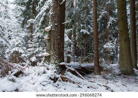 Winter landscape of old coniferous stand of Bialowieza Forest with group of old spruce tree trunks in foreground - stock photo