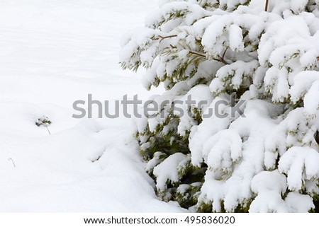 Winter landscape of pine forests the trees are covered with frost and snow