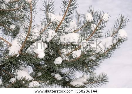 winter landscape of snow branches of a coniferous tree against white snow