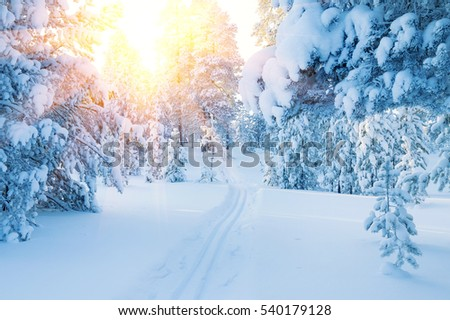 Winter landscape. Ski track in  snowy coniferous forest. Colorful sunset in the snowy forest.