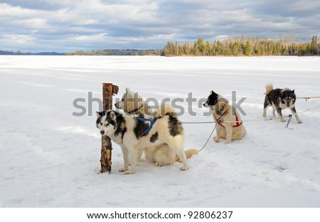 Winter landscape: Team of Canadian Inuit sled dogs in harnesses, waiting for action - stock photo