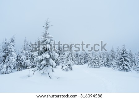 Winter landscape with fir forest covered with snow. Overcast day - stock photo