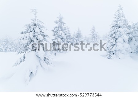 Winter landscape with fir forest covered with snow. Overcast day