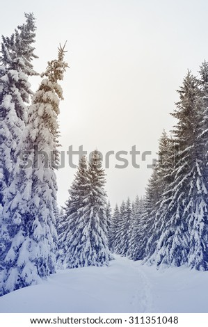 Winter landscape with snow-covered spruce forest and footpath. Christmas view. Color toning - stock photo