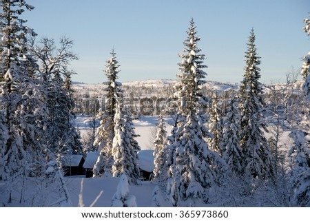 Winter landscape With Snowy spruces