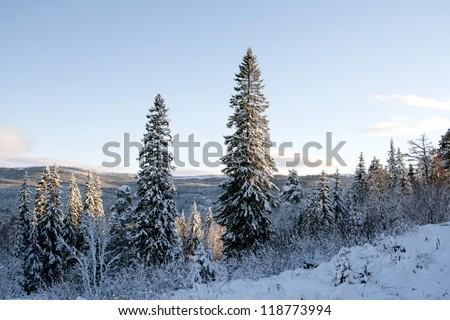 Winter landscape with spruces - stock photo