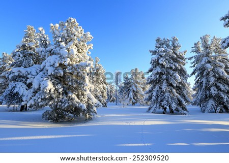 Winter landscape with the cedars covered with snow - stock photo