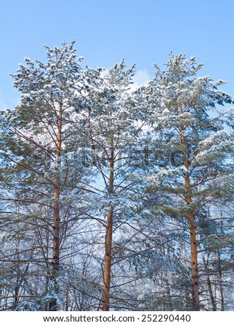 Winter landscape with trees covered with snow.  - stock photo