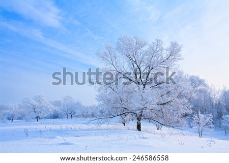 Winter landscape with white trees covered with snow.  - stock photo