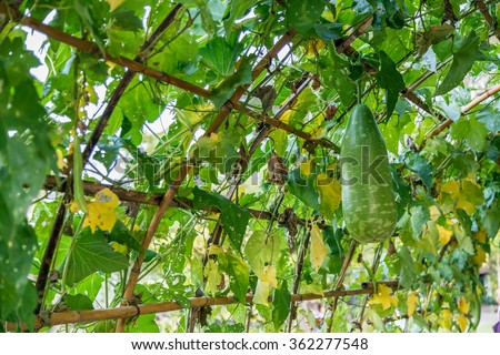 Winter melon, Ash Gourd, squash pumpkin (genus Benincasa) growing on vine hung on vegetable agriculture tunnel structure. very large fruit, eaten as a vegetable, have waxy coating for long shelf life - stock photo