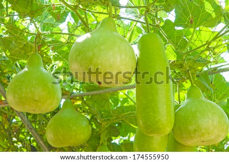 Winter melon hang in the hanging garden - stock photo