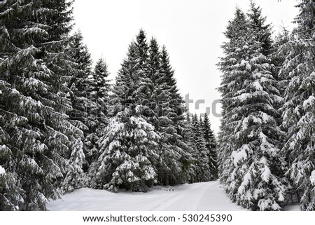 Winter mountain forest. Fir branches covered with fresh snow