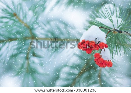 Winter nature background with a snowy coniferous branch and red rowan - stock photo