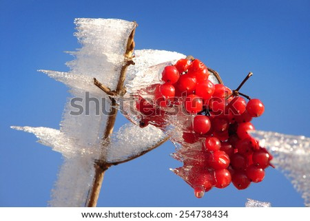 Winter nature beauty, frost, red berry. - stock photo